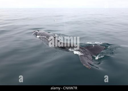 humpback whale (Megaptera novaeangliae), come to the watersurface, Iceland, Husavik - Stock Photo