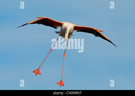 greater flamingo (Phoenicopterus roseus, Phoenicopterus ruber roseus), flying, France, Provence, Camargue - Stock Photo