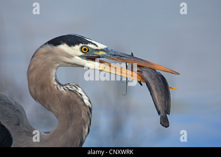 great blue heron (Ardea herodias), with fish in its beak, USA, Florida, Everglades National Park - Stock Photo
