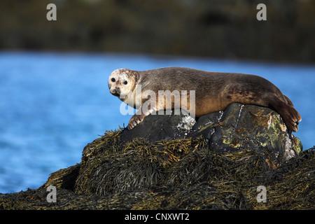 gray seal (Halichoerus grypus), lying on a rock, Iceland, Snaefellsnes - Stock Photo