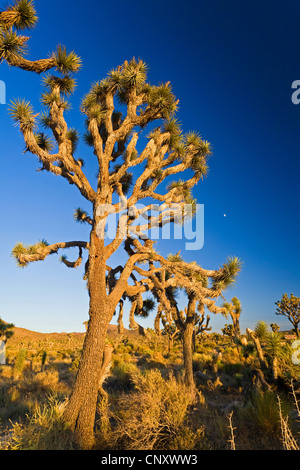 joshua tree (Yucca brevifolia), in evening light, USA, California, Mojave, Joshua Tree National Park - Stock Photo