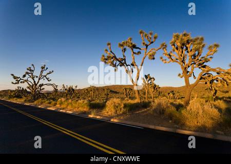 joshua tree (Yucca brevifolia), in evening light along a street, USA, California, Mojave, Joshua Tree National Park - Stock Photo