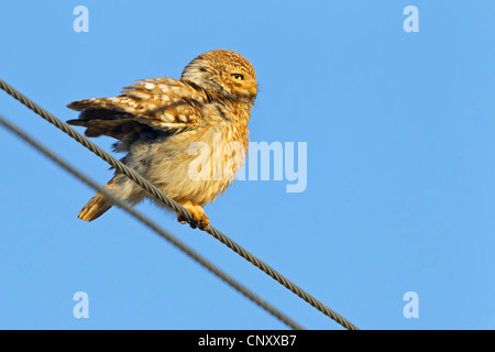 little owl (Athene noctua), sitting on a power cables stretching the wings, Turkey, Silifke, Cambazli - Stock Photo