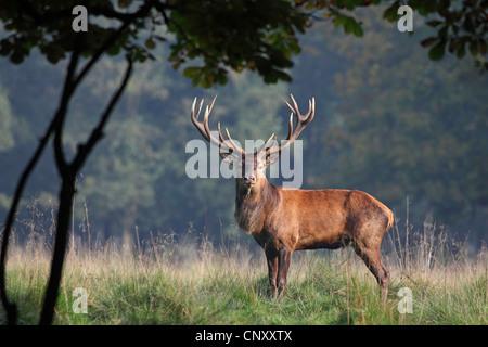 red deer (Cervus elaphus), magnificent red deer standing in forest glade, Denmark, Jaegersborg - Stock Photo
