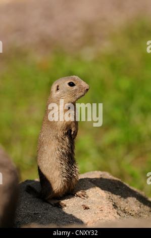 European ground squirrel, European suslik, European souslik (Citellus citellus, Spermophilus citellus), standing - Stock Photo