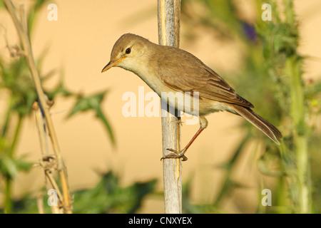 Eurasian Reed Warbler, Caspian Reed Warbler (Acrocephalus scirpaceus ssp. fuscus, Acrocephalus scirpaceus fuscus, - Stock Photo