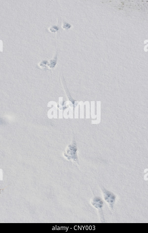 beech marten, stone marten (Martes foina), foot print in the snow, Germany - Stock Photo