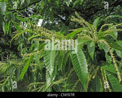 Spanish chestnut, sweet chestnut (Castanea sativa), blooming branch, male inflorescences, Germany - Stock Photo