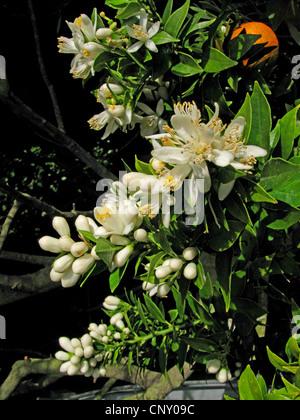 Chinotto stock photo royalty free image 23900693 alamy for Citrus myrtifolia