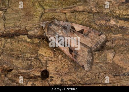 Setaceous Hebrew character (Xestia c-nigrum, Rhyacia c-nigrum, Amathes c-nigrum, Agrotis c-nigrum), sitting on bark, - Stock Photo
