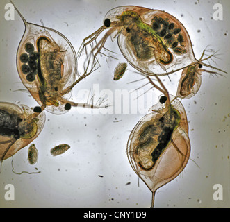 Water flea, Daphnea sp., from south-western Norway, Norway - Stock Photo