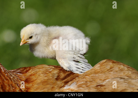 domestic fowl (Gallus gallus f. domestica), chick on the back of its mother, Germany, Bavaria - Stock Photo
