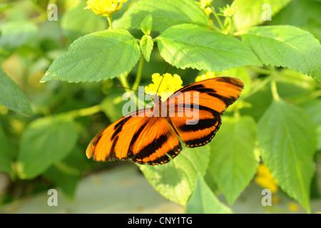 Banded Orange Heliconian, Banded Orange, Orange Tiger (Dryadula phaetusa), sitting on yellow flowers - Stock Photo