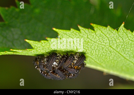seven-spot ladybird, sevenspot ladybird, 7-spot ladybird (Coccinella septempunctata), just hatched larvae, Germany, - Stock Photo