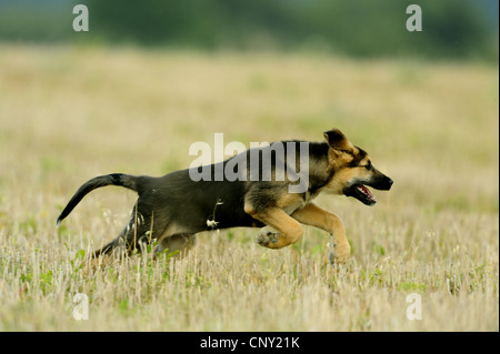mixed breed dog (Canis lupus f. familiaris), puppy running through stubble field, Germany - Stock Photo