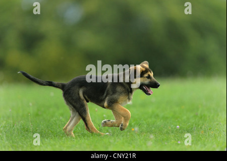 mixed breed dog (Canis lupus f. familiaris), puppy running in a meadow, Germany - Stock Photo