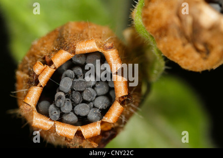 red campion (Silene dioica), vessel with seeds from above, Germany, Bavaria - Stock Photo