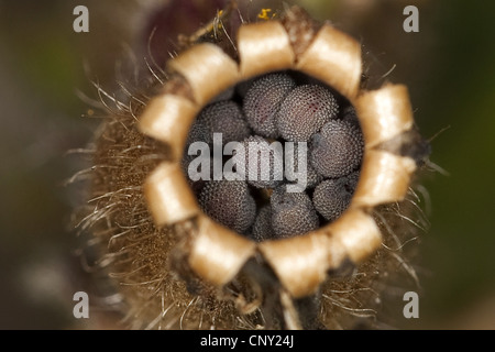red campion (Silene dioica), seeds in a vessel, Germany - Stock Photo