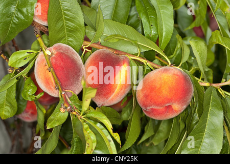 peach (Prunus persica var. persica), peaches on a branch - Stock Photo