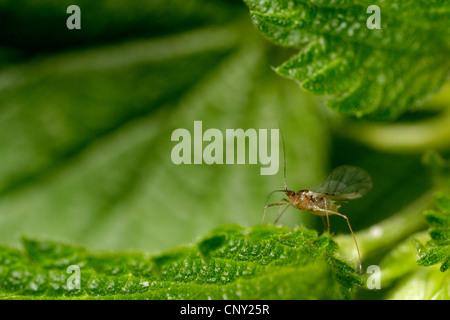 glasshouse aphid, potato aphid (Aulacorthum solani), sitting on a leaf, Germany, Bavaria - Stock Photo