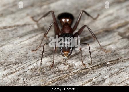 carpenter ant (Camponotus ligniperda, Camponotus ligniperdus), sitting on dead wood