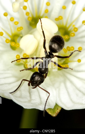 wood ant, black ant (Formica lemani, Serviformica lemani), sitting on a blossom of marsh grass-of-parnassus, Germany