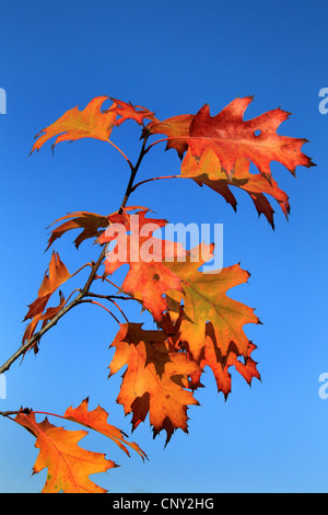 northern red oak (Quercus rubra), autumn leaves on a branch, Germany - Stock Photo