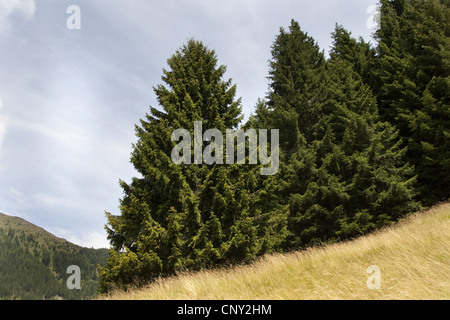 Norway spruce (Picea abies), trees at a forest edge, Germany - Stock Photo