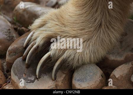 brown bear (Ursus arctos), big paw of a bear - Stock Photo