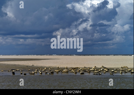 harbor seal, common seal (Phoca vitulina), seals lying on a sand bank of Langeoog, Germany, Lower Saxony, Langeoog - Stock Photo