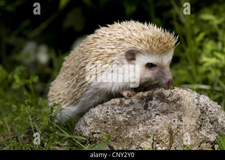 four-toed hedgehog (Erinaceus albiventris, Atelerix albiventris), sitting on a stone in a meadow - Stock Photo