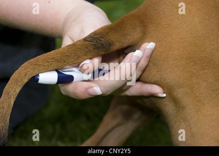Rhodesian Ridgeback (Canis lupus f. familiaris), getting meter of temperature - Stock Photo