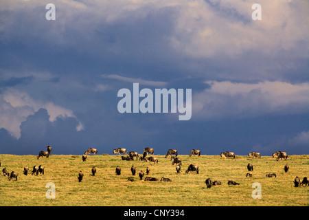 Western white-bearded wildebeest (Connochaetes taurinus mearnsi), herd grazing in the savannah, Tanzania, Serengeti - Stock Photo