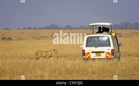 lion (Panthera leo), Safari tourists meet with the lion in Masai Mara, Kenya, Masai Mara National Park - Stock Photo
