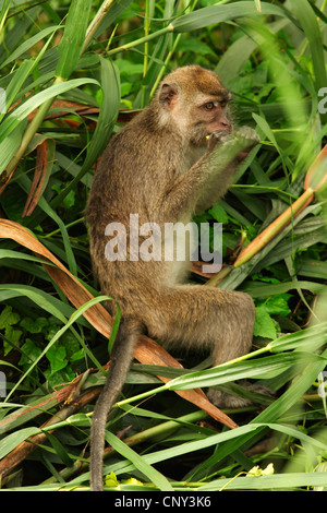 Crab-eating Macaque, Java Macaque, Longtailed Macaque (Macaca fascicularis, Macaca irus), sitting feeding on grass, - Stock Photo