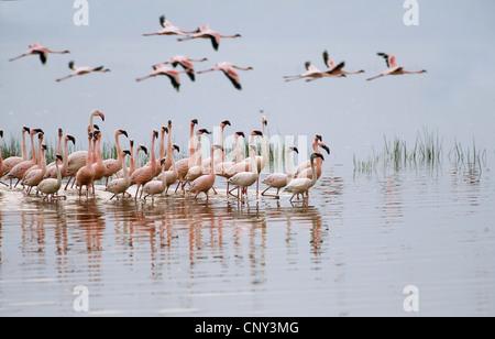 lesser flamingo (Phoenicopterus minor), group in a lake, Kenya, Lake Nakuru National Park - Stock Photo