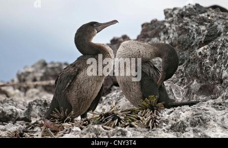 Flightless Cormorant, Galapagos Cormorant (Nannopterum harrisi, Phalacrocorax harrisi), nesting at Elizabeth Bay, - Stock Photo
