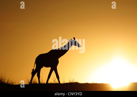 giraffe (Giraffa camelopardalis), walking over the savannah in front of the sunset, South Africa, Northern Cape, - Stock Photo