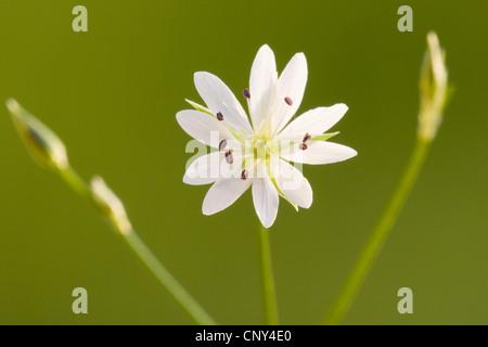 lesser stitchwort, little starwort (Stellaria graminea), flower, Germany - Stock Photo