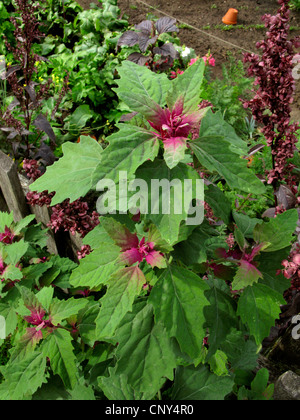 Magenta lamb's quarters, Tree Spinach (Chenopodium giganteum), at a garden fence, Germany - Stock Photo