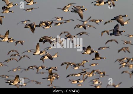 barnacle goose (Branta leucopsis), flock in the sky, Germany, Schleswig-Holstein - Stock Photo