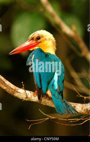 stork-billed kingfisher (Pelargopsis capensis), sitting on a branch, Malaysia, Sabah, Sungai Kinabantangan, Borneo - Stock Photo
