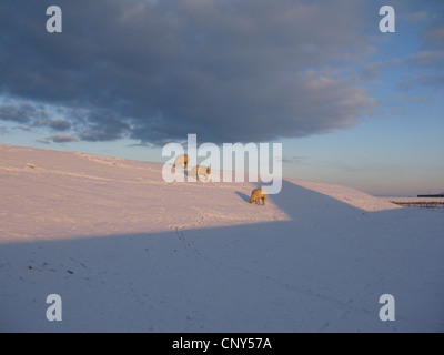 domestic sheep (Ovis ammon f. aries), sheep grazing on a snowcovered dune , Germany, Lower Saxony, East Frisia - Stock Photo