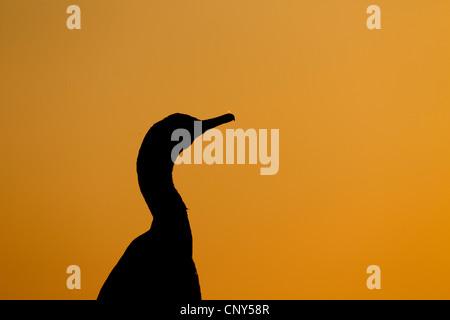 shag (Phalacrocorax aristotelis), silhouetted at sunset, Ireland, Saltee - Stock Photo
