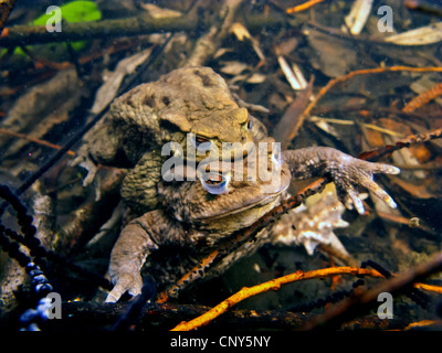 European common toad (Bufo bufo), spawning pair under water between strings of spawn, Germany, Bavaria - Stock Photo