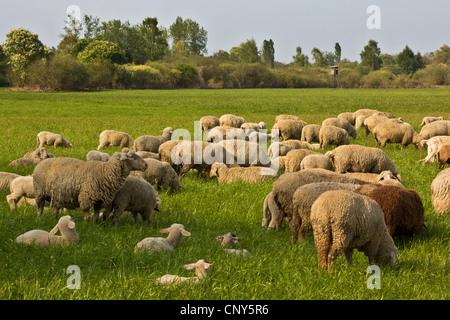 domestic sheep (Ovis ammon f. aries), herd with lambs on a pasture in Erdinger Moos, Germany, Bavaria - Stock Photo