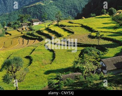 terraced fields step down a hillside, Nepal, Kangchenjunga, Sinam - Stock Photo