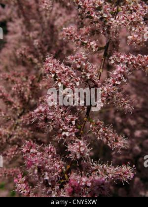 Small Flower Tamarisk (Tamarix parviflora), blooming - Stock Photo