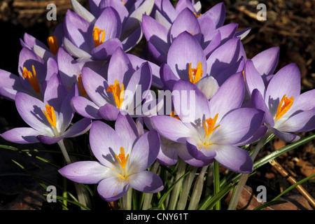 Early Crocus (Crocus tommasinianus), blooming - Stock Photo