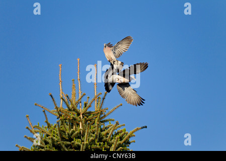 wood pigeon (Columba palumbus), two birds fighting in the air for a nesting place in a tree top, Germany, Schleswig - Stock Photo